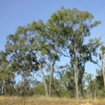 Eucalyptus crebra (Narrow-leaved Ironbark)