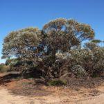 Eucalyptus cyanophylla (Murraylands Mallee)