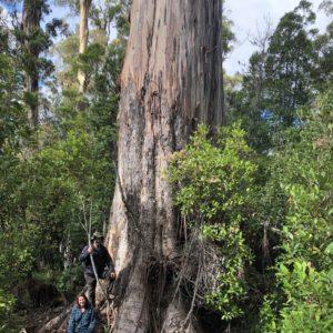 (Tasmanian blue gum), tallest-known individual, Lonnavale, Tas