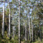 Eucalyptus grandis (Rose Gum)