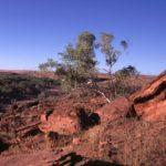 Eucalyptus gregoriensis Judbarra/Gregory NP, NT