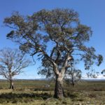 Eucalyptus gunnii (Cider Gum) subsp. divaricata