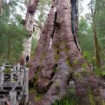 Eucalyptus jacksonii giant tree (Red Tingle)