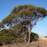Eucalyptus Kochii (Oil Mallee)