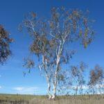 Eucalyptus lacrimans (Weeping Snow Gum)