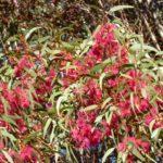 Eucalyptus leucoxylon (White Ironbark)