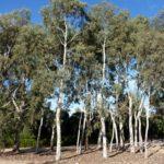 Eucalyptus mannifera cultivar (Brittle Gum, Broad-leaved Manna Gum)
