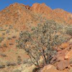 Eucalyptus melanophloia (Silver-leaved Ironbark)