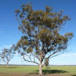Eucalyptus microcarpa (Grey Box)