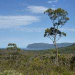 Eucalyptus nitida (Smithton Peppermint)
