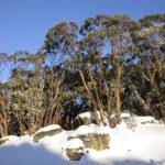 Eucalyptus pauciflora (Snow Gum) - subsp. acerina