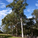 Eucalyptus propinqua (Grey Gum, Small-fruited Grey Gum)