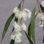 Eucalyptus radiata - subsp. radiata cultivar (Narrow-leaved Peppermint)