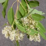 Eucalyptus raveretiana (Black Ironbox)