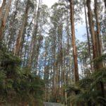Eucalyptus regnans (Mountain Ash)