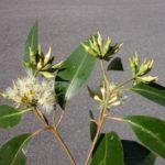 Eucalyptus robusta (Swamp Mahogany)