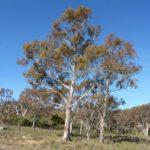 Eucalyptus rubida subsp. rubida