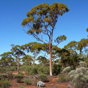 Eucalyptus salmonophloia (Wurak, Salmon Gum)