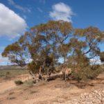 Eucalyptus socialis (Pointed Mallee) - subsp. socialis
