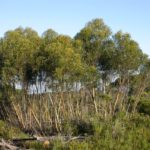 Eucalyptus stricta (Blue Mountains Mallee Ash)