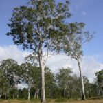 Eucalyptus tereticornis (common names include Queensland Blue Gum, Flooded Gum, Mountain Gum) -subsp. tereticornis