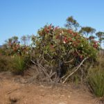 Eucalyptus tetraptera (Square-fruited Mallee, Four-winged Mallee)