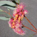 Eucalyptus torquata (Coral Gum)