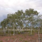 Eucalyptus victrix (Smooth-barked Coolabah, Little Ghost Gum)