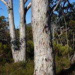Eucalyptus wandoo (Wandoo, White Gum)