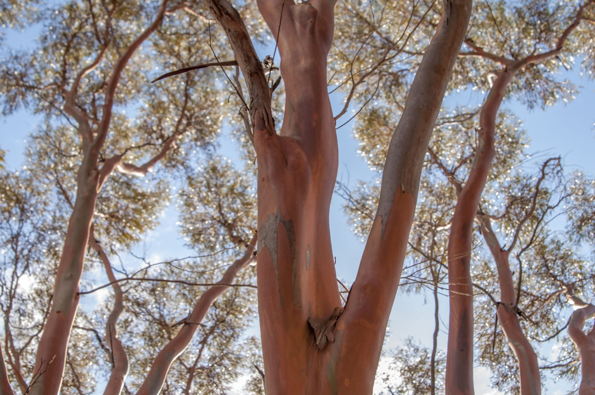 Australian eucalypts are a muse for this Japanese-born photographer