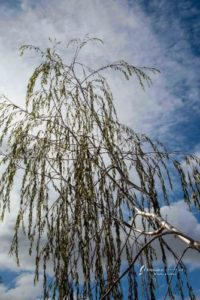willow gum