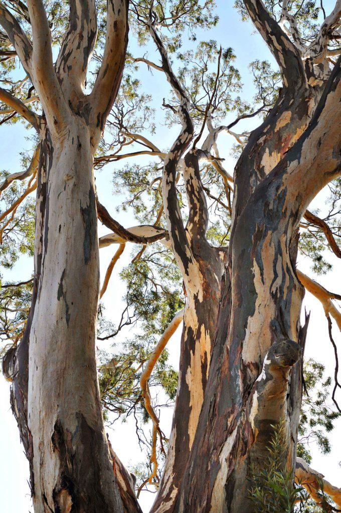 Unidentified eucalypt - Sydney