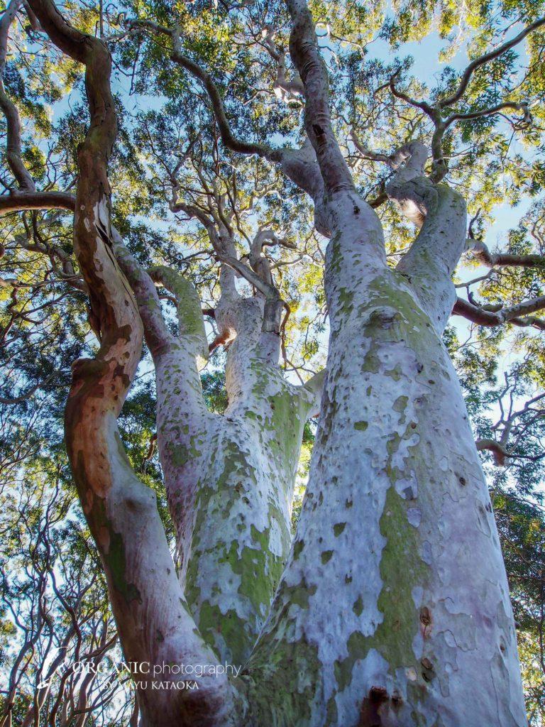 Angophora costata - Sydney