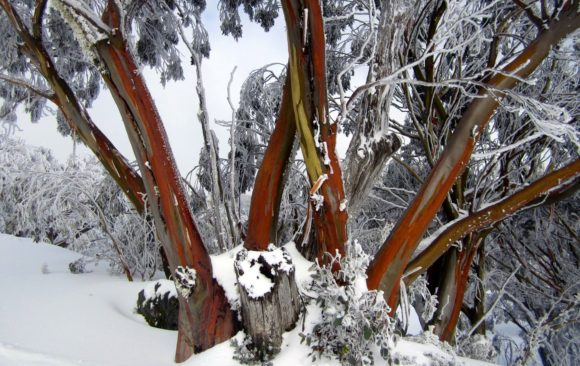 Reflections from Eucalypt Australia: Eucalypt of the Year 2019