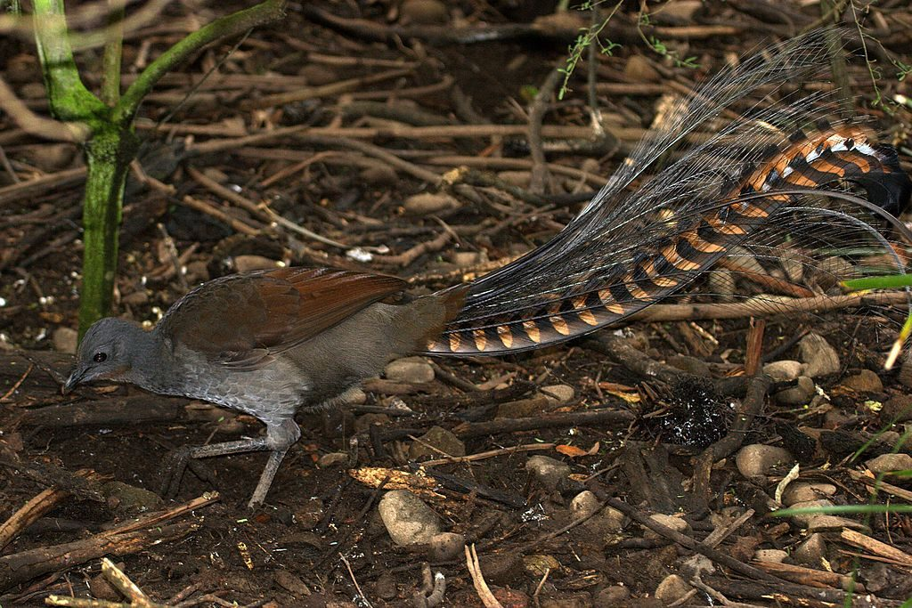 Lyrebirds are often seen scratching for food on the forest floor, which turns the leaf litter and improves the soil.