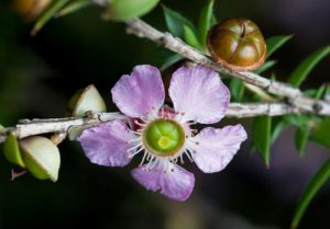 Leptospermum flower