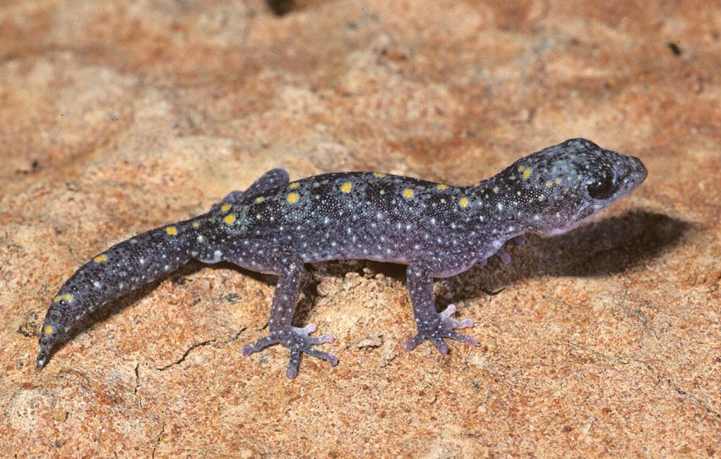 The Tessellated Gecko
