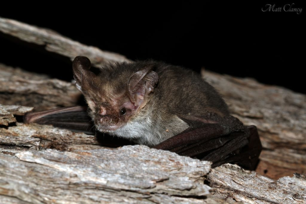 One species of native Microbat is the Lesser Long-eared Bat (Nyctophilus geoffroyi). Image: Matt [CC BY 2.0 (https://creativecommons.org/licenses/by/2.0/deed.en)], via Wikimedia Commons