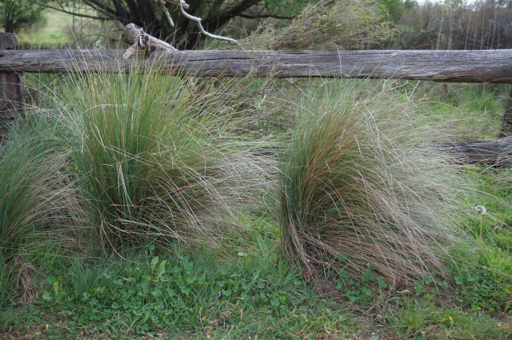 Wallaby grass is a good pick for sun-drenched balconies. Image courtesy of Harry Rose from South West Rocks, Australia [CC BY 2.0 (https://creativecommons.org/licenses/by/2.0)]