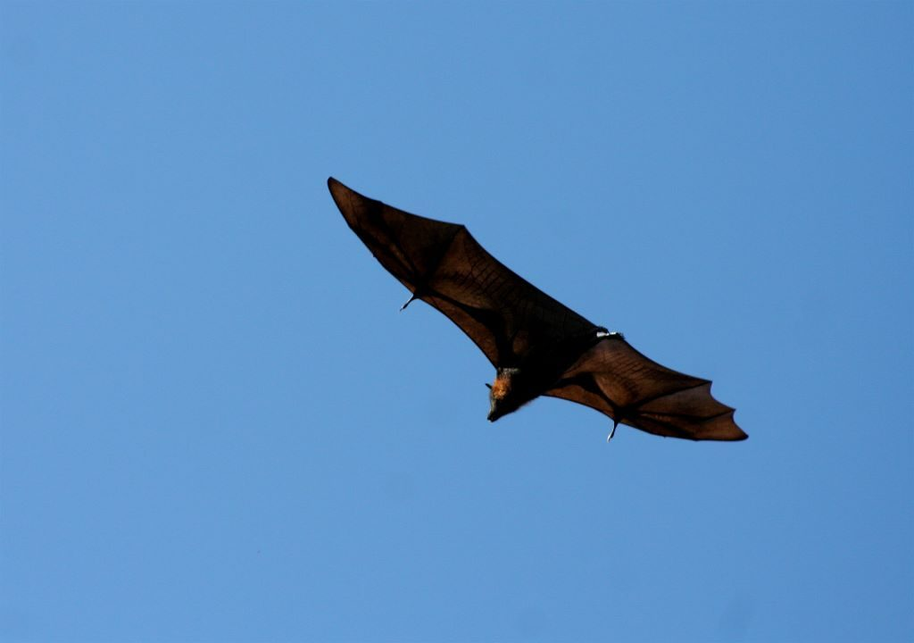 A Grey-headed flying fox soaring through the sky. Image: Richard Giddens [CC BY 2.0 (https://creativecommons.org/licenses/by/2.0/deed.en)], via Wikimedia Commons.