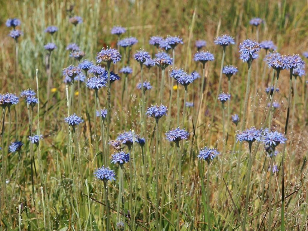 Stunning blue pincushions are a perfect addition to your grassland. Image: Liz Fenton.