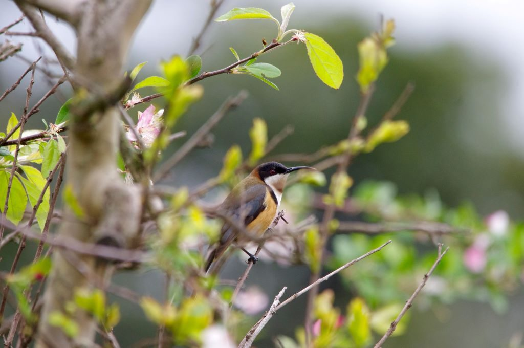 Small, shy birds like this Eastern Spinebill (Acanthorhynchus tenuirostris) prefer wide, shallow dishes placed on the ground under bushes and shrubs for bathing. Image: Catherine Cavallo.
