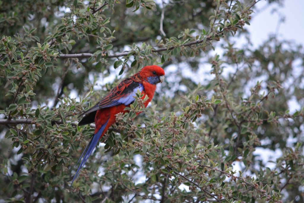 Native birds such as the Crimson Rosella (Platycercus elegans) are striking additions to any garden. Image: Lachlan Walsh.