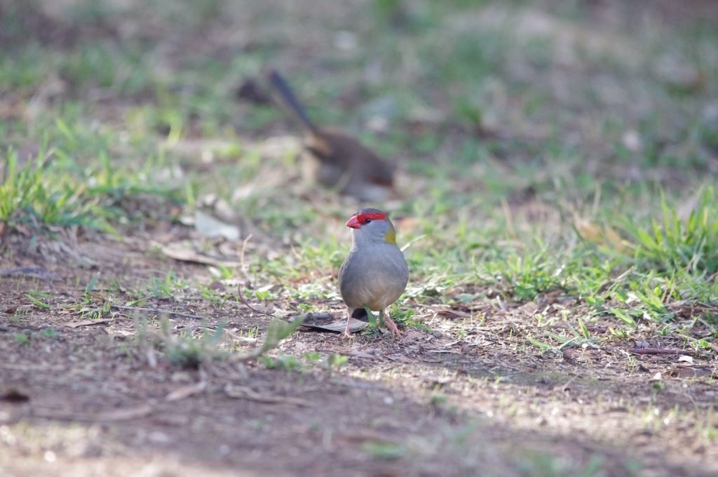 Free nesting birds like the Red-browed Finch (Neochmia temporalis) will build nests instead of using hollows. Image: Catherine Cavallo.