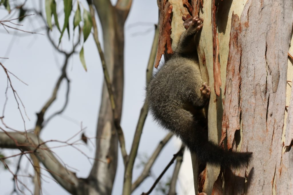 A common brushtail possum climbing into a tree hollow