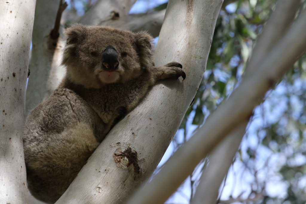 One of our national icons, the Koala, is listed as Vulnerable by the IUCN. Koala populations are decreasing, with land clearing a major current threat and climate change expected to have a high impact.