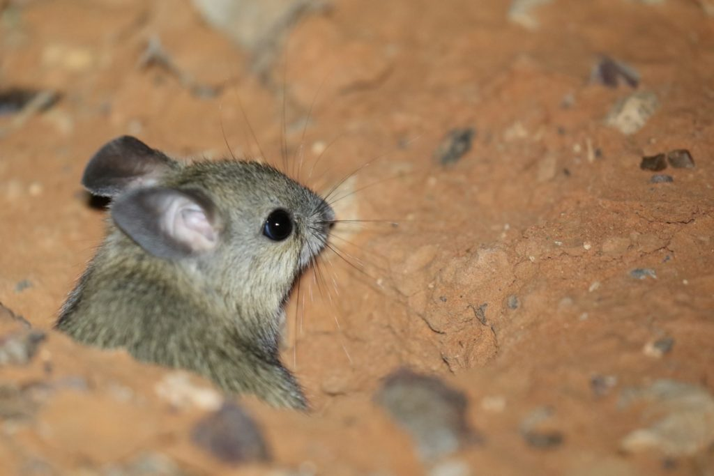 The Plains Mouse is IUCN listed as Vulnerable and is decreasing in range and population size. The key threat is habitat degradation by ranched livestock, which trample and graze down the mouse's habitat.