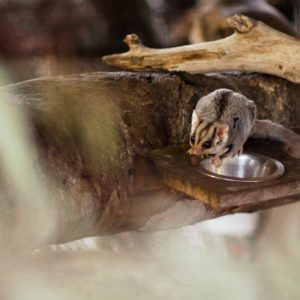 Cultivating a Sugar Glider Grove in your garden – a DIY guide