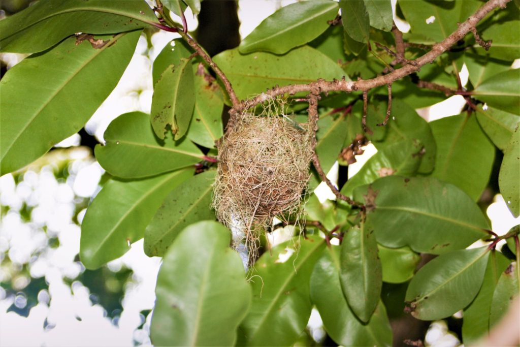 inactive silver-eye nest