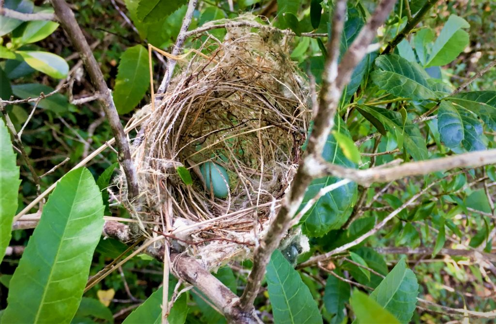 A very rare active White-eye nest with a blue egg inside